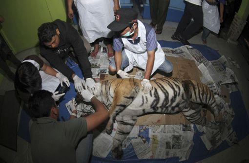 Seltener Sumatra-Tiger wird von Falle verletzt und stirbt