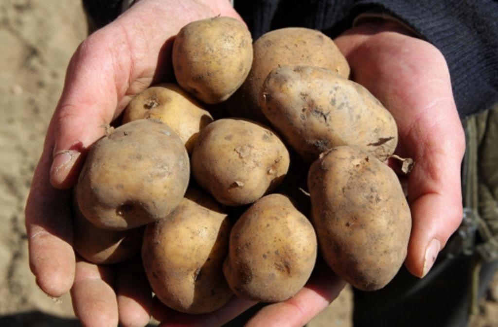 Die gentechnisch veränderte Kartoffel Am Foto: dpa