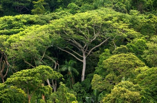 artenschutz viele baumarten im amazonas becken sind bedroht wissen stuttgarter zeitung. Black Bedroom Furniture Sets. Home Design Ideas