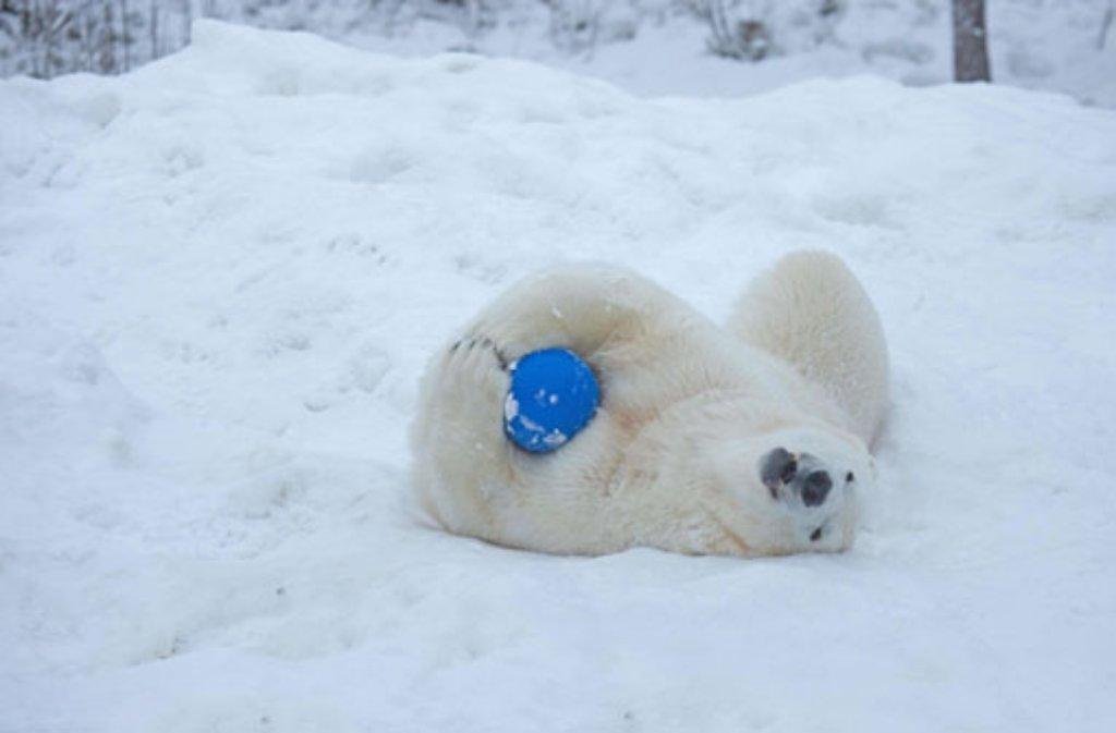 Eisbär Wilbär aus Stuttgart gibt sich in Schweden gerne dem Spiel hin. Stundenlang kann er sich mit einem Ball im Orsa-Bärenpark in Grönklitt beschäftigen.  Foto: Orsa-Bärenpark / Anders Björklund