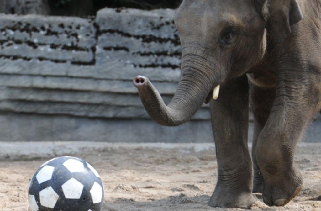 Noch ein Orakel: der Hamburger Elefant Sharukh Foto: dpa