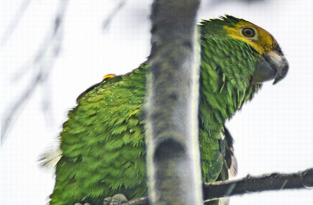 Unser Leser Benjamin Ohnmacht hat den Papagei fotografiert. Foto: z/Benjamin Ohnmacht