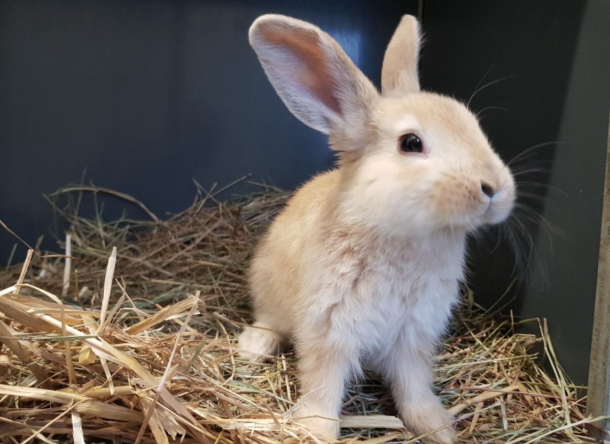 Kaninchen Mario ist vier Monate alt und sucht ein liebevolles zu Hause in Innenhaltung. Foto: Tierheim Stuttgart