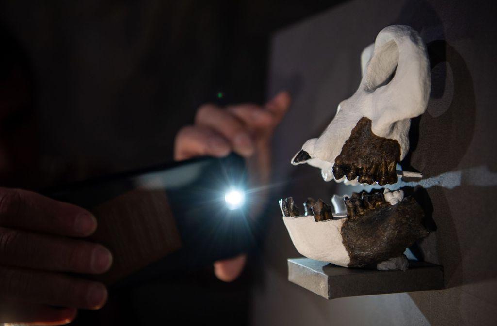 Forscher der Universität Tübingen haben dem Fossil einer bislang unbekannten Menschenaffenart den Beinamen Udo gegeben – nach Sänger Udo Lindenberg. Foto: dpa/Sebastian Gollnow