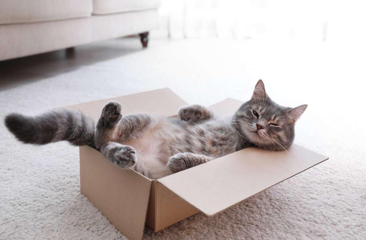 Stellt man einen Karton in den Raum, macht es sich die Katze darin bequem. Aber warum lieben Katzen Kartons so sehr? Mehr dazu im Artikel. Foto: New Africa / Shutterstock.com