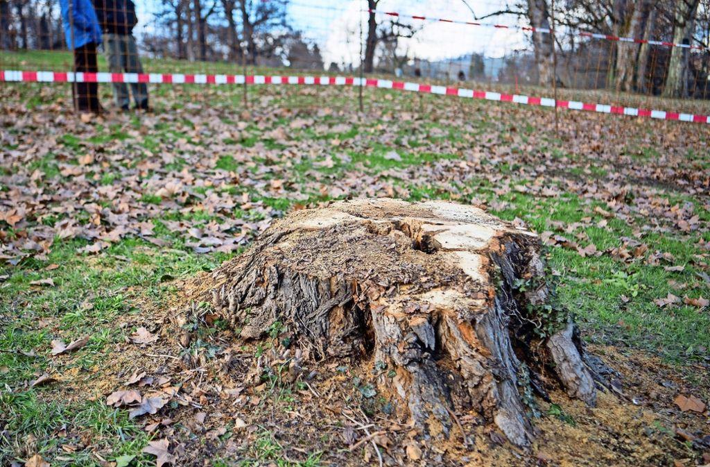 In diesem Baumstumpf wurde die Flasche mit Kotpillen gefunden Foto: dpa