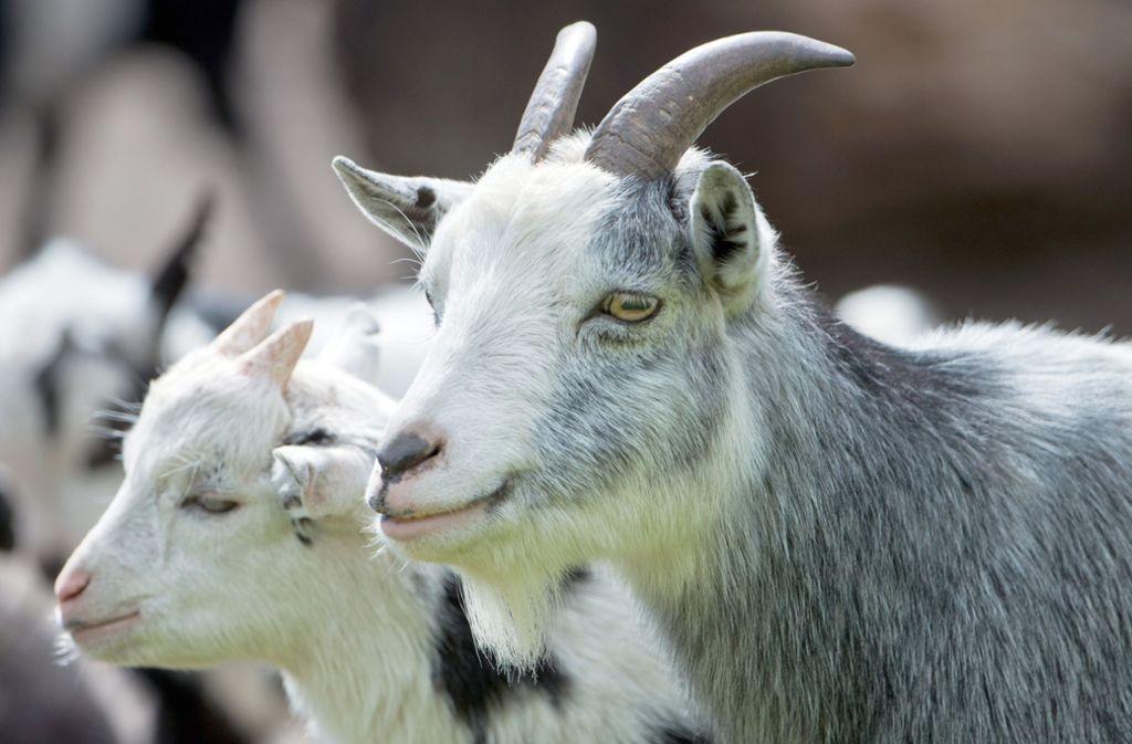Mehrere Ziegen (Symbolbild) haben in Walheim für Aufregung gesorgt. Foto: dpa/Tim Brakemeier