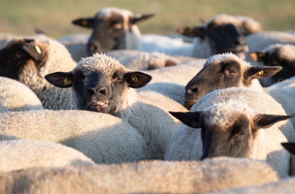 Acht Schafe wurden bei der Aktion getötet, einige Tiere sind aus dem Gehege geflüchtet. Foto: dpa