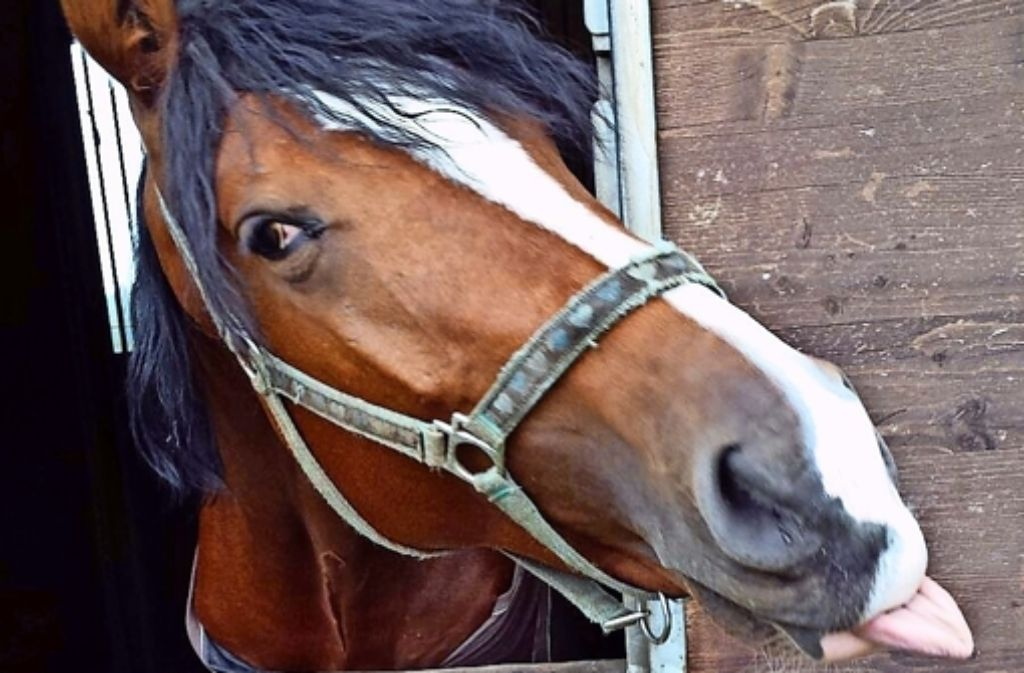 Capi gilt als lernwilliges Pferd. Foto: privat