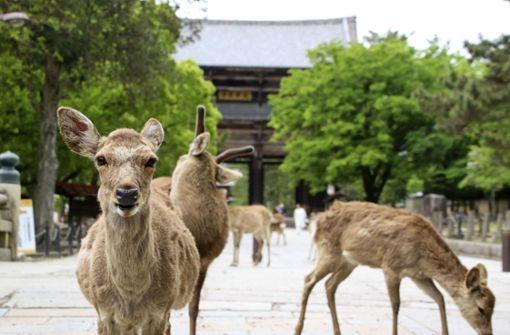 Hirsche erkunden Stadt in Japan