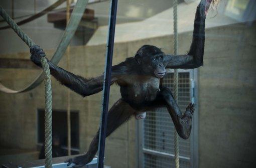 Zwei tote Bonobos zu viel