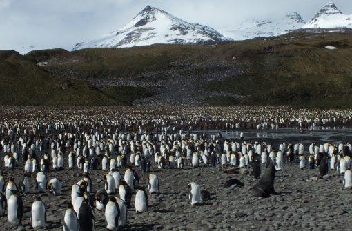 In der Bucht Salisbury Plain auf der Insel Südgeorgien leben 250.000 Königspinguine dicht an dicht. Foto: Binkowski