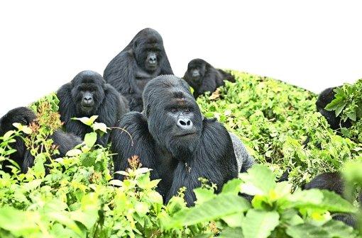 Eine Familie Berggorillas an den Hängen der Virunga-Vulkane in Zentralafrika Foto: Gorilla Doctors (UC Davis)