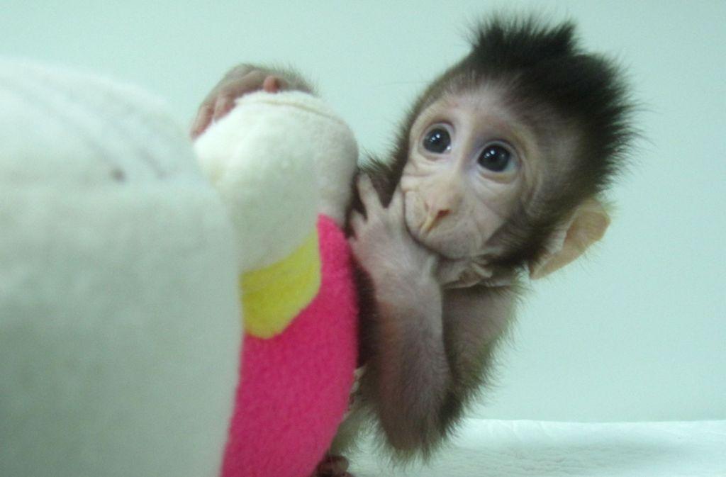 Das undatierte Foto aus  Shanghai (China) zeigt Zhong Zhong, einer der ersten zwei Affen, die nach Dolly-Methode geklont wurden. Foto: