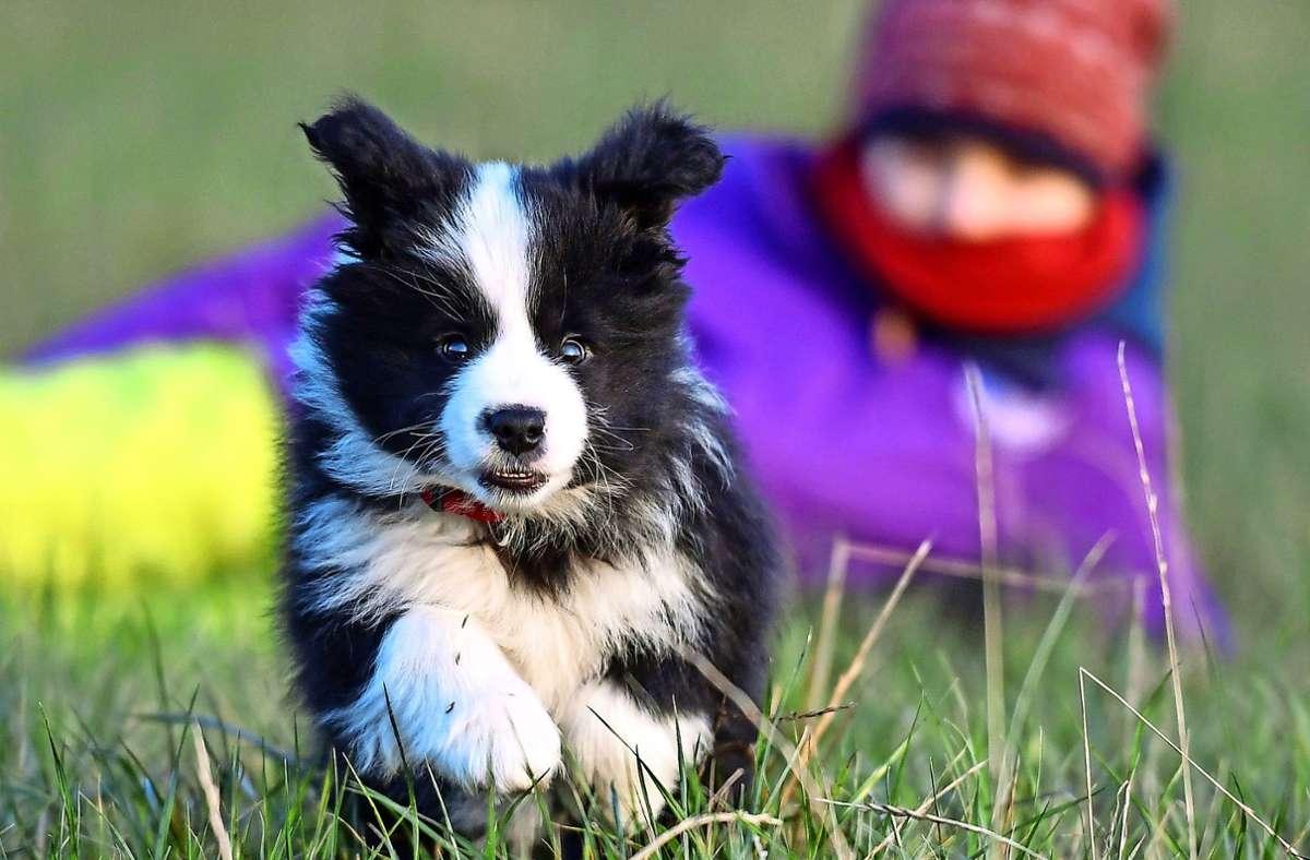 Vor allem Kurse für Welpen sind bei Hundevereinen  zurzeit gefragt. Foto: dpa/Patrick Pleul