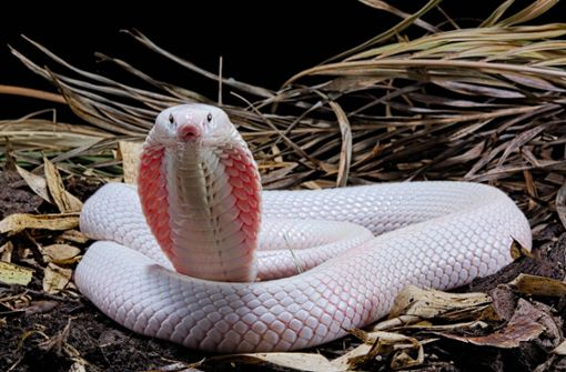 Kobra beißt Studenten ins Koma