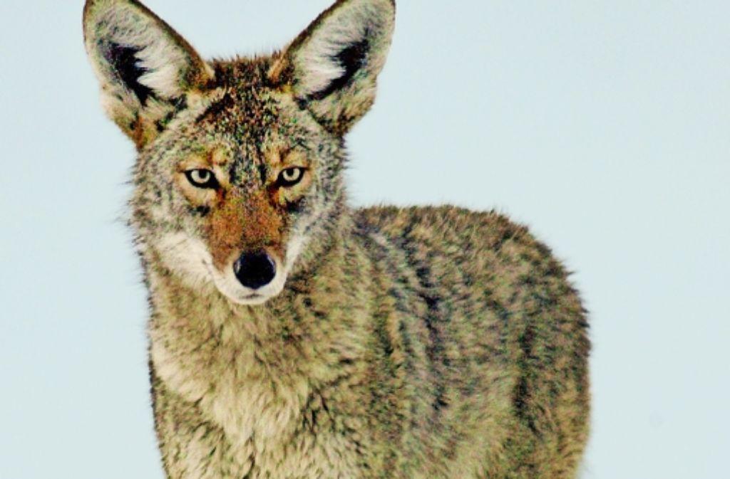 Anpassungsfähig: Kojoten können auch  in urbanen Zentren überleben. Foto: AP, Getty
