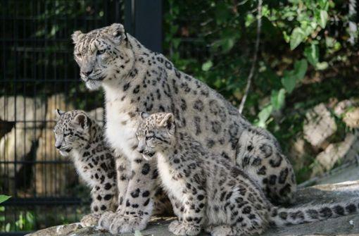 Familientreffen im Leopardengehege