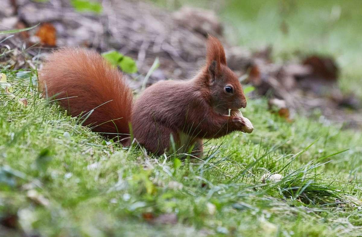 Normalerweise sammeln Eichhörnchen Nüsse und Samen. Ein Artgenosse hat sich nun einen Apfel schmecken und sich dabei filmen lassen. Foto: dpa/Georg Wendt