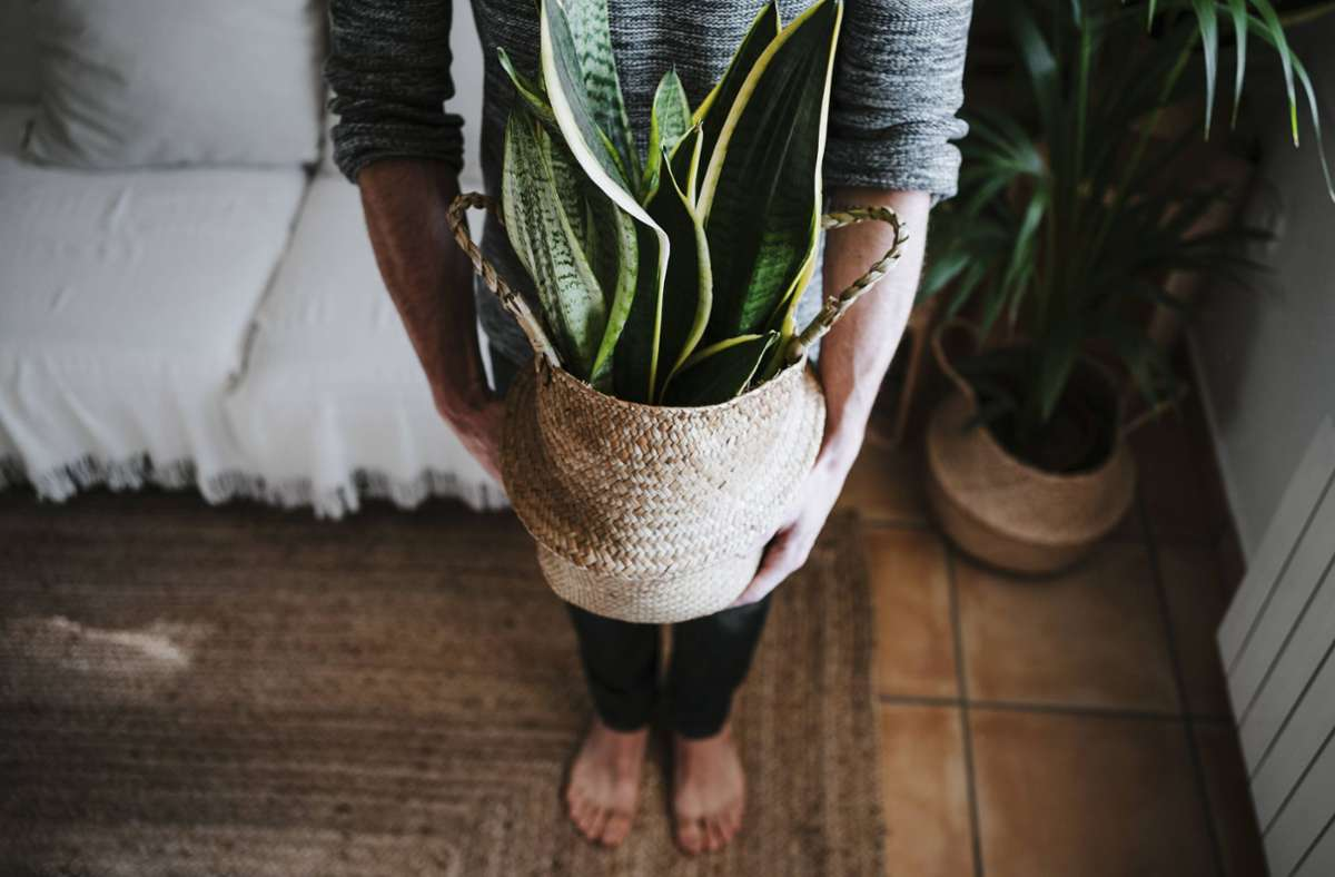 Viele Zimmerpflanzen – vor allem exotische – stammen aus Ländern, in denen viele Pestizide eingesetzt werden und die Arbeitsbedingungen schlecht sind. Foto: imago/Westend61/Eva Blanco