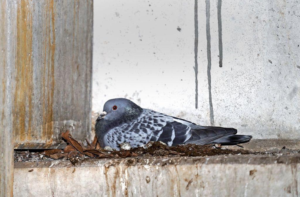 Knapp 80 Tauben bevölkern und verschmutzen das Parkhaus. Foto: factum/Jürgen Bach