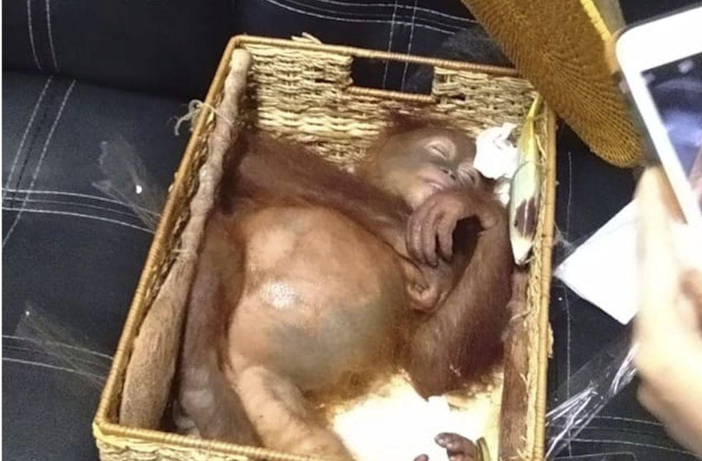 Das Tier wurde mit Drogen betäubt und lag bewusstlos in der Rattankiste. Foto: BKSDA Bali