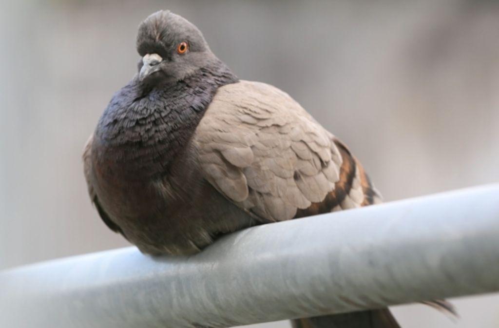 Der Vermehrung der Taube soll in Stuttgart Einhalt geboten   werden. Foto: Zweygarth