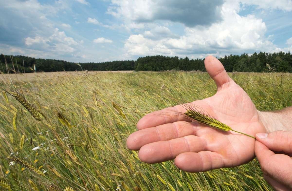 Hier im Bild ist die Getreidesorte Emmer zu sehen. Foto: dpa/Armin Weigel