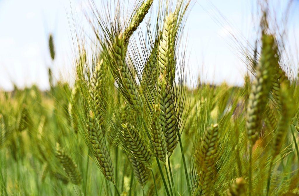 Tausende Jahre lang gehörten Ur-Weizenformen wie Emmer zur Nahrungsgrundlage der Menschen – verschwanden aber Mitte des 20. Jahrhunderts mit der industrialisierten Landwirtschaft nahezu komplett von den Feldern. Foto: Universität Hohenheim