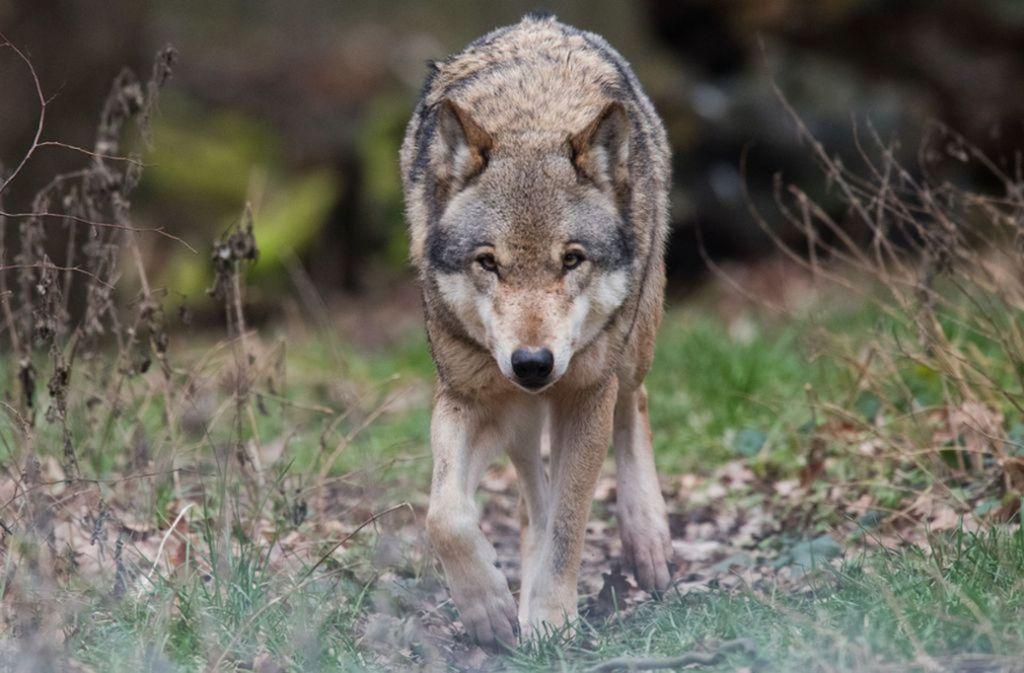 Ein Wolf – dieser hier lebt aber nicht in freier Wildbahn, sondern streift durch ein Gehege in Niedersachsen. Foto: dpa/Julian Stratenschulte