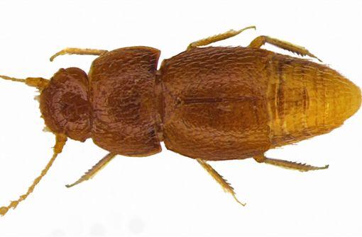 Käfer nach Greta Thunberg benannt