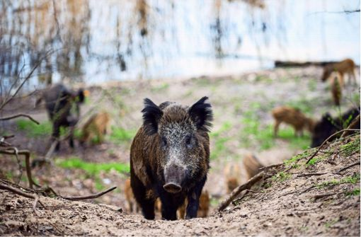 Vorsicht vor toten Wildschweinen
