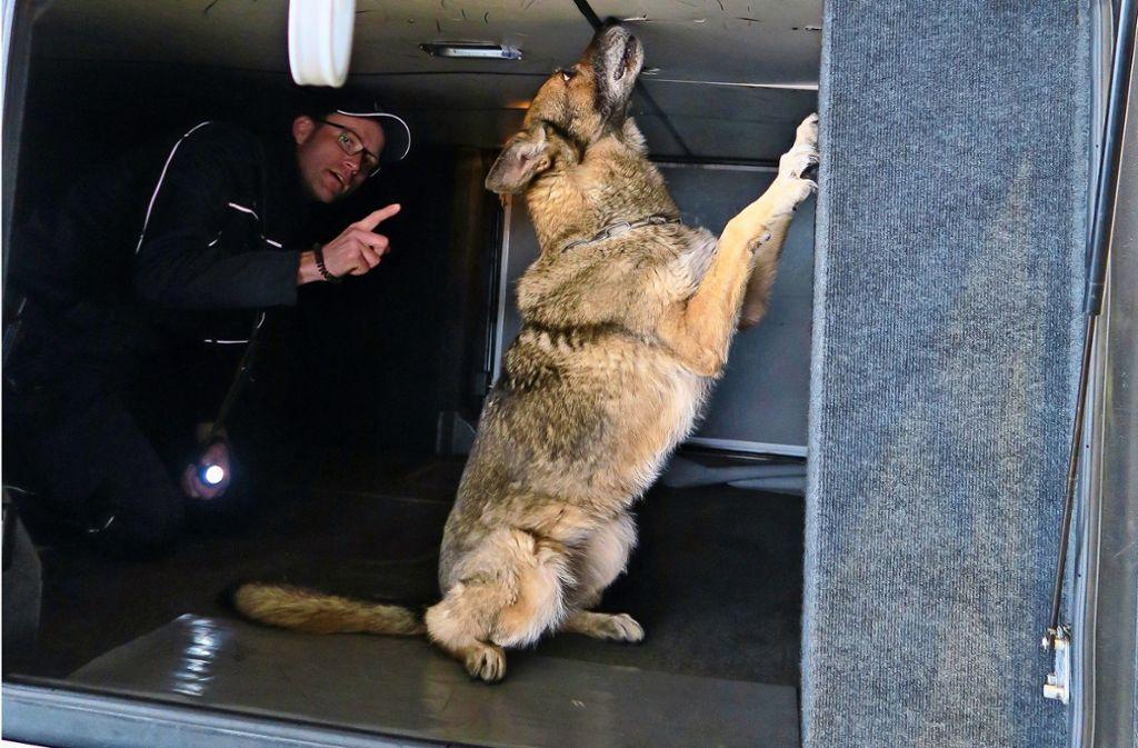 Die Hündin Xarit schnüffelt im Gepäckraum eines Doppeldeckerbusses nach Tabak oder Geld. Patrick Deininger ist ihr Hundeführer. Foto: Malte Klein
