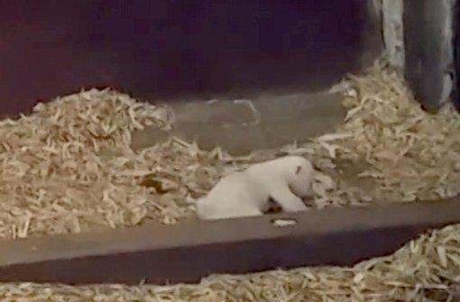 Neues Video zeigt Eisbär-Baby