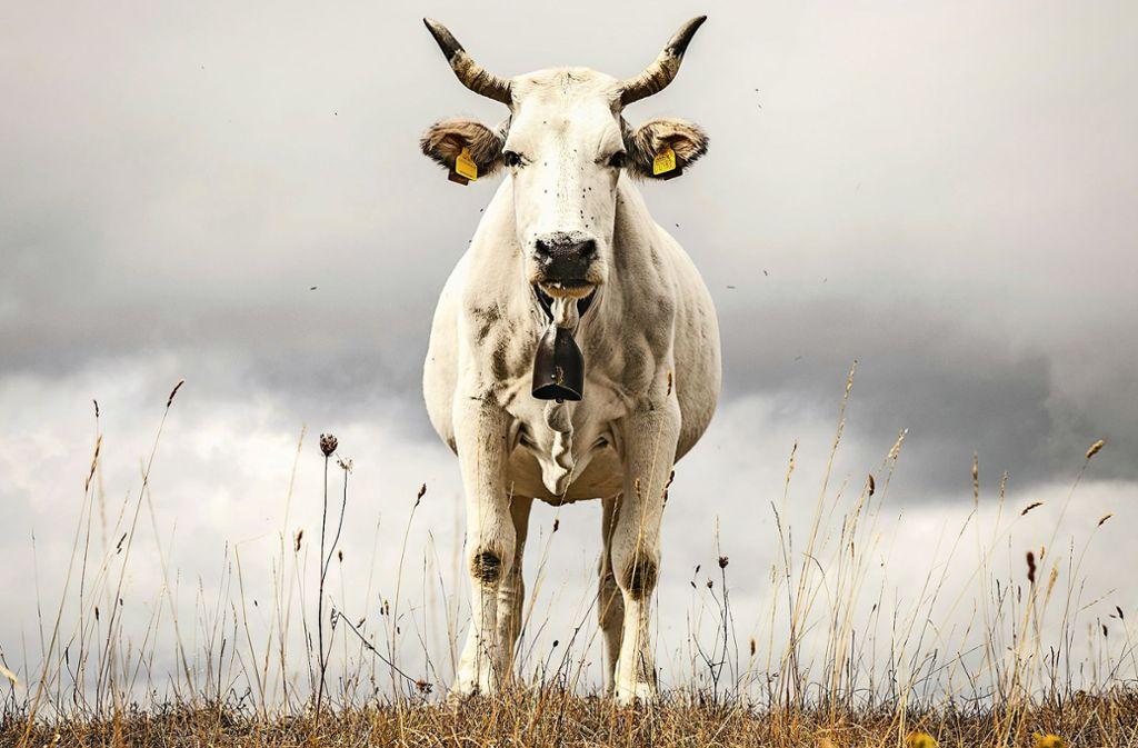 Für dieses Bild wandert man  doch gerne durch Italien. Vom Boden aus fotografiert,  ist die Kuh eine imposante Erscheinung. Foto: Stefan Brusius