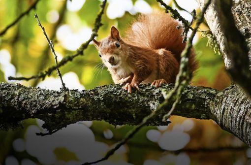 Warum Eichhörnchen größere Gehirne entwickelten