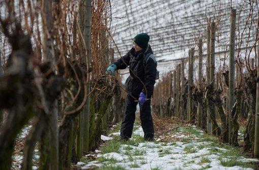 Am Rotenberg werden die Reben geschnitten. Unsere Weinrunde genießt derweil einen guten Trollinger von Tobias Gschwendtner. Foto: dpa