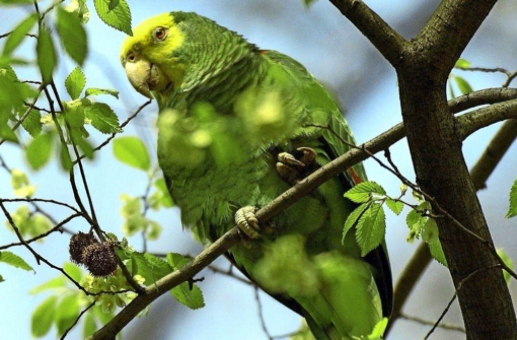Gut 50 Papageien leben inzwischen in Bad Cannstatt Foto: dpa
