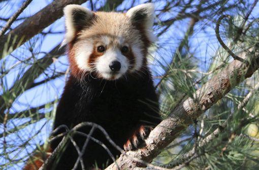Wer hat den Roten Panda gesehen?