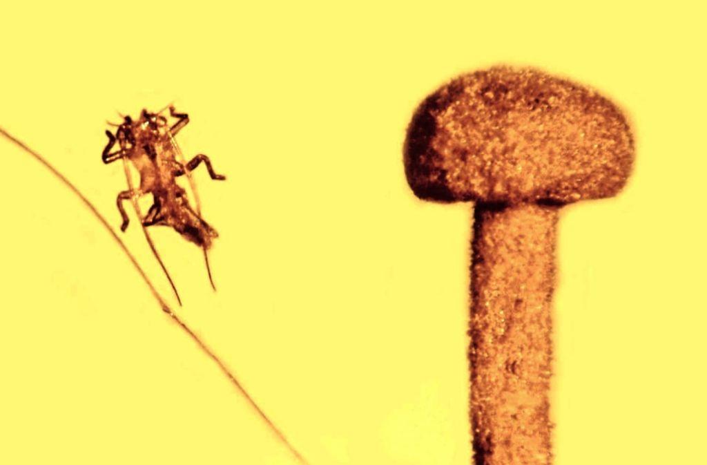 Im Harz konserviert: ein  Pilz, die Hülle einer Stabschrecke und ein Haar Foto: Poinar