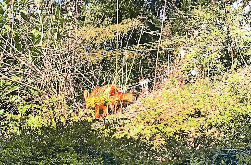 Wolf Bonitz hat den Fuchs auf seinem Grundstück fotografiert. Foto: privat