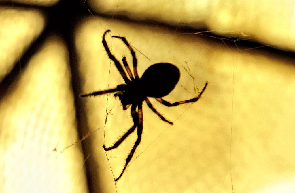 Die Spinne in ihrem Netz ist gefährlich – allerdings nur für ihre Beutetiere. Foto: dpa