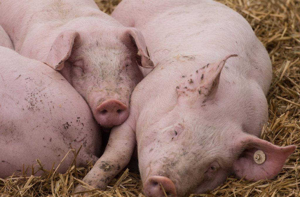 Ein mit 480 Schweinen beladener Viehtransporter ist am Dienstag im nordrhein-westfälischen Kalkar-Kehrrum verunglückt. (Symbolbild) Foto: dpa
