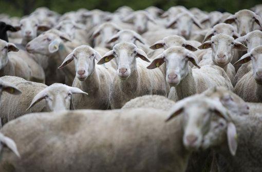 50 Schafe sterben bei Brand in Schafstall