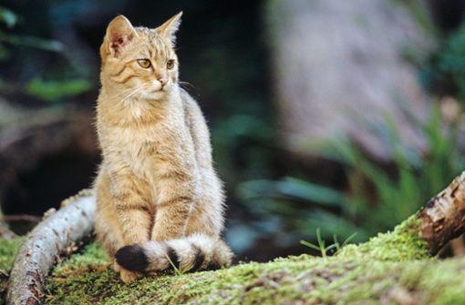 Der Streit um die Wildkatzen flammt wieder auf