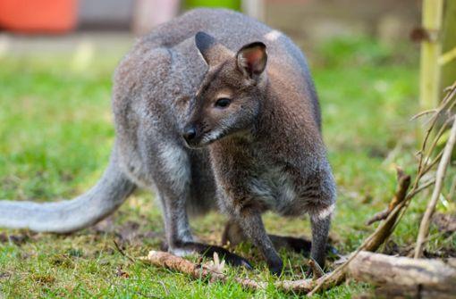 Känguru ausgebüxt – Suche läuft