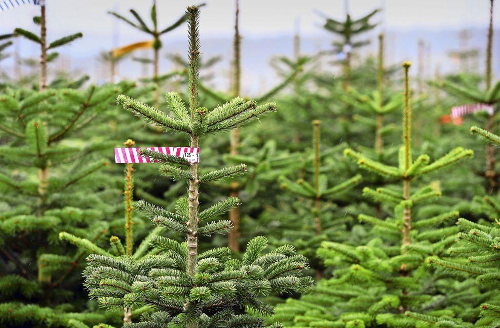 Die meisten Christbäume werden in Plantagen erzeugt. Foto: dpa