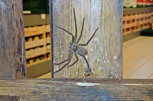 Spinnen-Alarm nach Bananenkauf