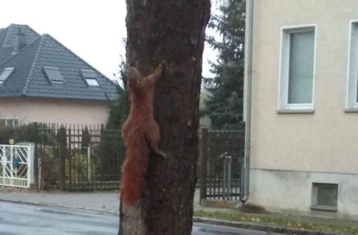 Eichhörnchen mutmaßlich lebendig an Baum genagelt