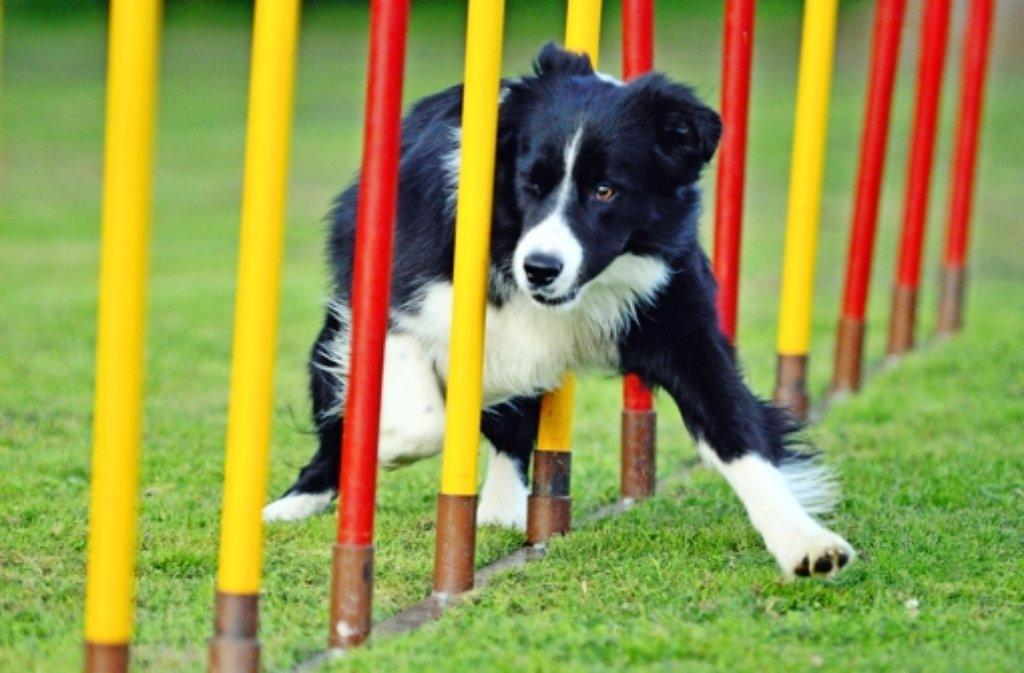 Brix ist ein vorbildlicher und sehr erfolgreicher Hund. Foto: privat